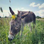 Tiergestütztes Coaching für Führungskräfte, Team und Burnout Prävention. Anti-Stress mit Eselcoaching Lüneburg Hamburg