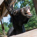 Wie ein Esel einen Gesangswettbewerb gewann